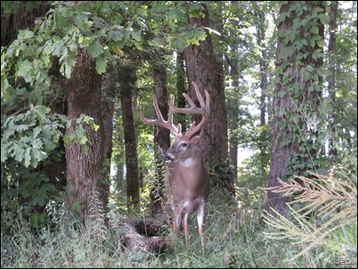 Buck on Cades Cove Loop