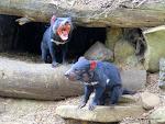 Tasmanian Devil Conservation Park, Taranna  [2014]