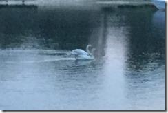 Manasquan impressionistic swans