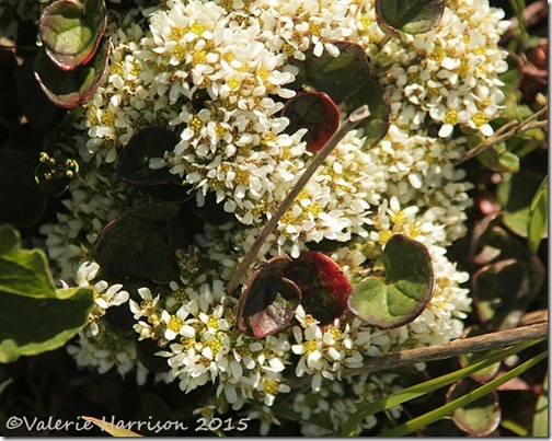 2-Scurvygrass