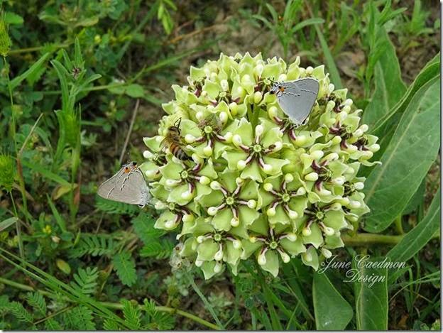 Antelope_horn_milkweed