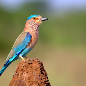 Blue Jay - King  by Prasanna Bhat - Animals Birds ( wildlife eurpoean indian roller birds blue jay )