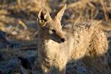 Coyote - Etosha, Namibia