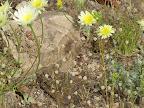 Unidentified tiny flowers beneath Yellow Compositacea - 4/18
