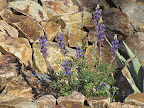 Lupine on rock wall 4/15