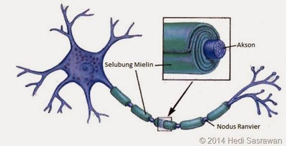 Fungsi selubung mielin