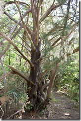 Red Cedar 2