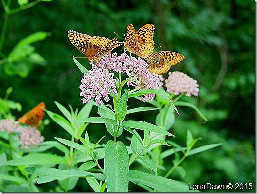 Milkweed Pink Butterflies