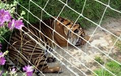 1992.07.07-104.05 tigre