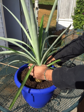 potting up a pineapple is as easy as 1-2-3