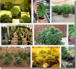 Growing pot without dirt can be grown in a pot