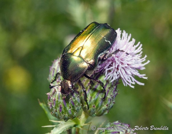 17_Cetonia aurata_Ortanella-001 (FILEminimizer)