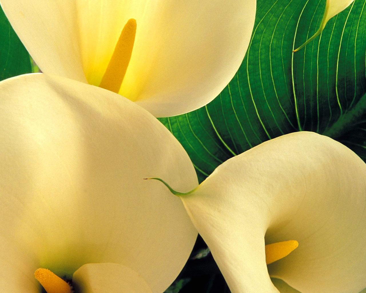 C is for Calla Lily