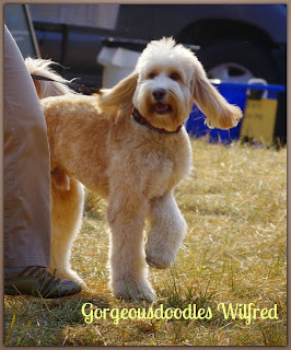 gorgeousdoodles labradoodle breeding dog
