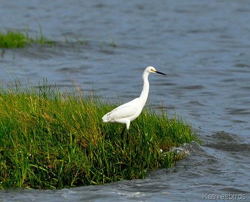 9. snowy egret 7-9-15-kab