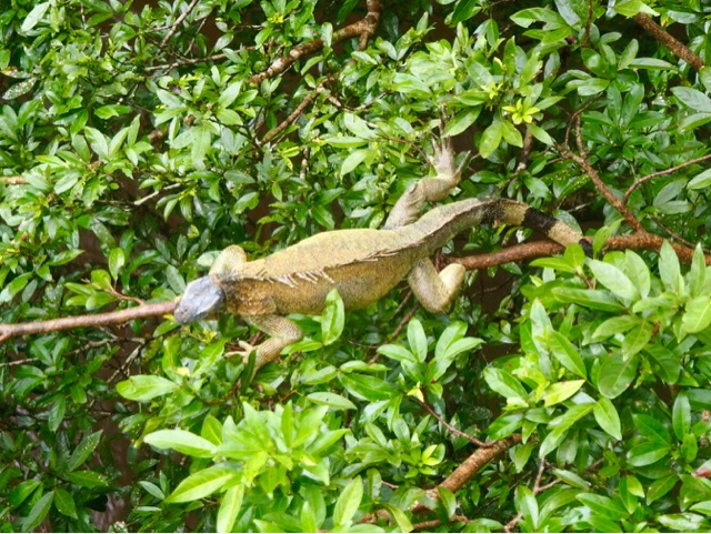 Iguana in a tree outside La Fortuna, Costa Rica