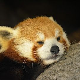Red Panda by Courtney Long - Animals Other Mammals ( nikond5100, sleeping, nikon, red panda, animal )