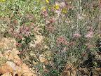 Fairy Duster bush 4/15