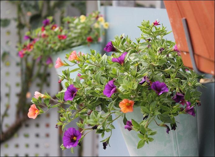00 Blumen Balkon Petunien 2
