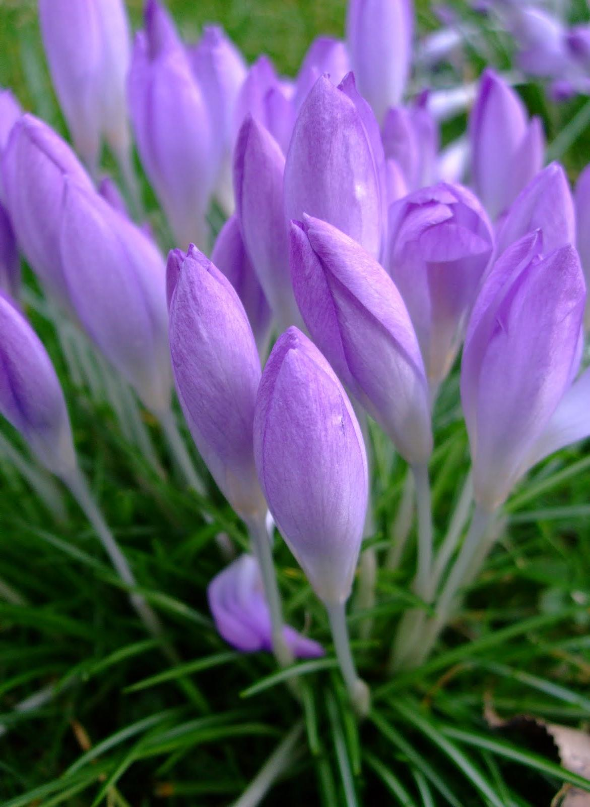 Early crocus Whitewell purple