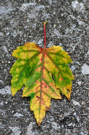 maple-leaf-fall