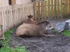 2006.08.28-010 tapirs