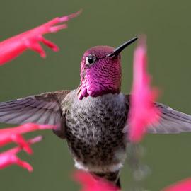 Gorgeous Gorget by Raphael RaCcoon - Animals Birds ( bird, hummingbird )