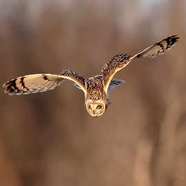 Short-eared owl by Debbie Quick - Animals Birds ( wild, owl lovers, elite owls, wildlife photography, animal photography, elite raptors, wildlife, debbie quick, the hudson valley, short-eared owl, debs creative images, bird, birds of prey, nature, shawangunk grasslands, owl, nature photography, raptor, bird photography, animal )