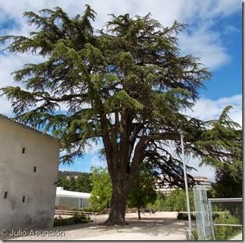 Cedro de la Casa Gurbindo - Parque Arantzadi