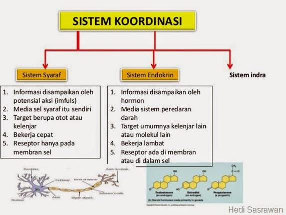 Komponen Sistem Koordinasi pada Manusia