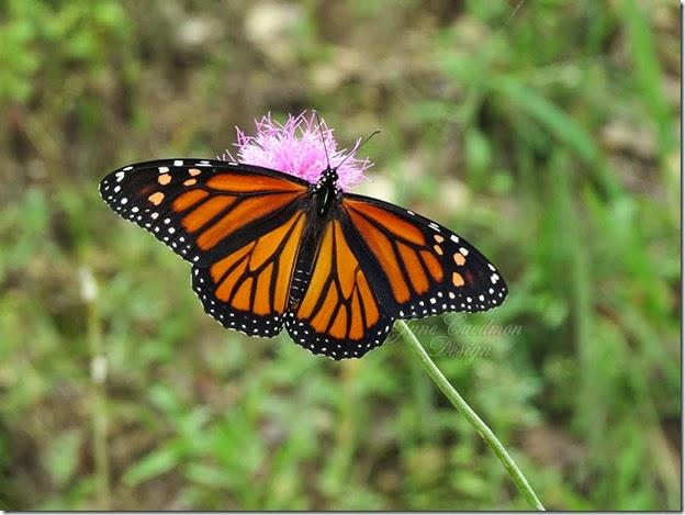 Monarch_open