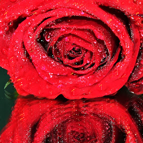 Rose by Chris DiNapoli - Nature Up Close Flowers - 2011-2013 ( rose, macro, close up )