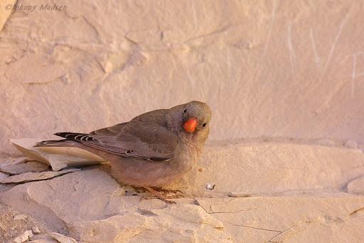Ørkendompap (Buchanetes githagineaus), Trumpeter Finch