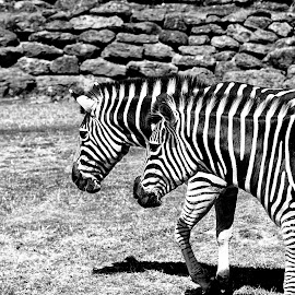 Zebras by Kellee Wright - Black & White Animals ( mammals, two, animals, black and white, zebra, stripes )