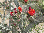 Buckhorn cholla - orange 5/8