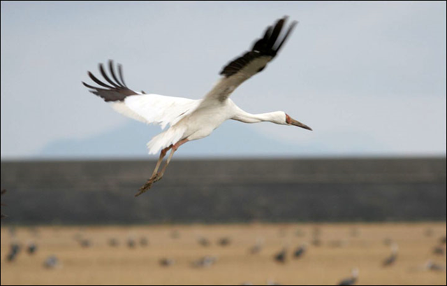 A West Siberian crane takes flight. In the 1980s, there were at least 280 cranes which wintered in the Keoladeo Nature Reserve near Agra in India. By 2012, the population had sunk to just 18 birds. The birds are being killed during their passage to the wintering grounds in Iran and Pakistan. Picture: hosdom.ru