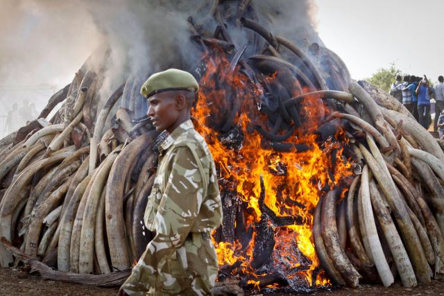 Burning 15 tons of elephant tusks in Kenya. Photo: Khalil Senosi / AP