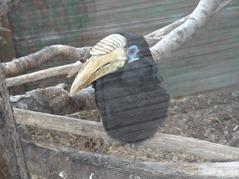 201506.21-023 calao papou femelle