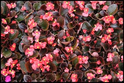 begonia-semperflorens3