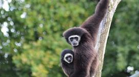 Spay gibbon