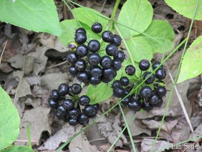 Wild Sasparilla Fruit