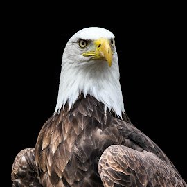 Proud Sam by Garry Chisholm - Animals Birds ( bird, garry chisholm, eagle, nature, wildlife, prey, raptor, bald )