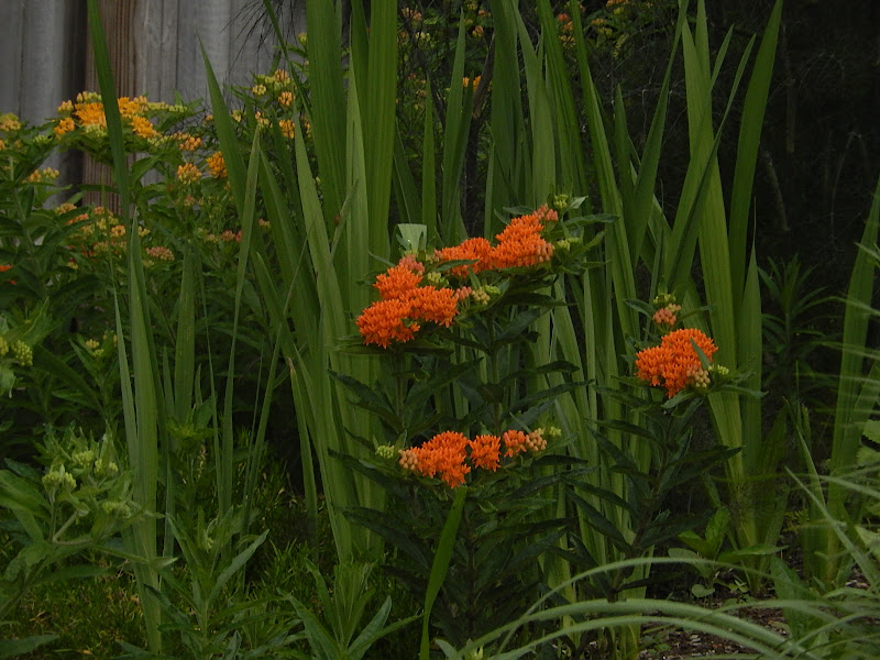 Butterfly Weed |Milkweed | Asclepias tuberosa