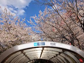 銀座駅と満開の桜