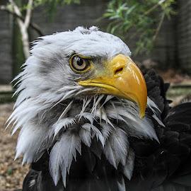 Bonnie by Garry Chisholm - Animals Birds ( bird, garry chisholm, nature, bald eagle, wildlife, prey, raptor )