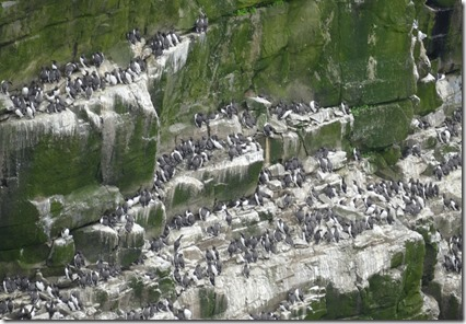 nl_argentia_cape_st_marys_murre_wall