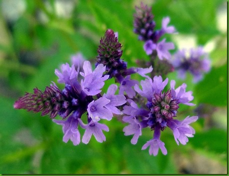 Verbena officinalis 3