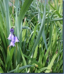 One Bluebell flower