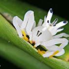 Aranha-Flor (Flower Spider)