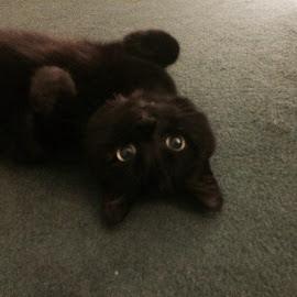 Do I have to go to bed now?! by Rosanna Harries - Animals - Cats Playing ( #black #cat #playing #playful #eyes #catseyes )